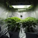 cannabis growing using led